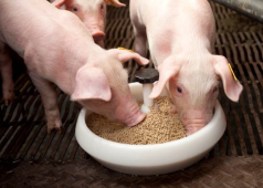 Can piglets be weaned from the sow without using a prestarter?