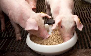 Чи можна провести відлучку поросят від свиноматки без використання престартера?